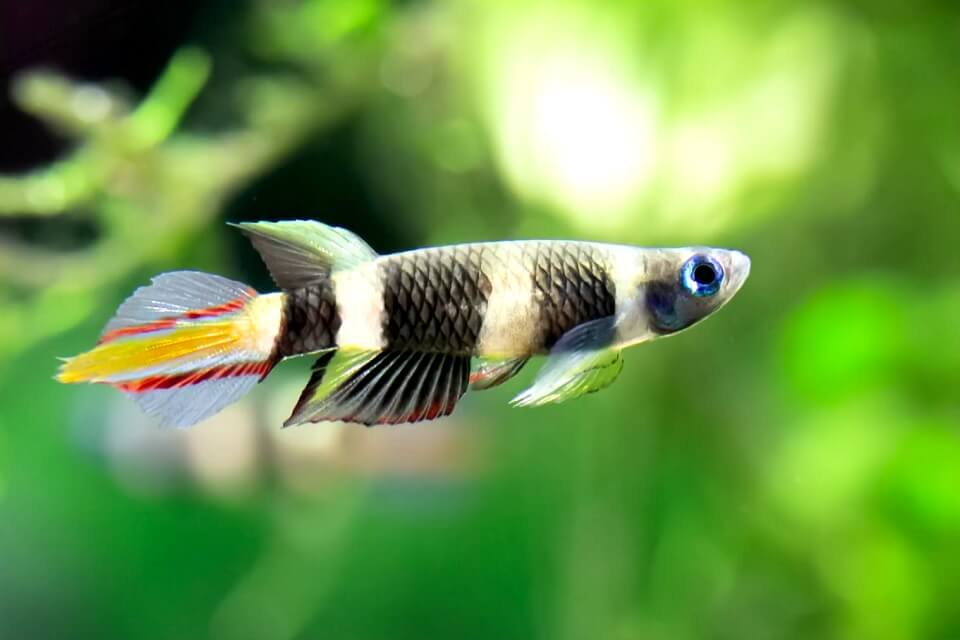 Everything That You Need To Know About Clown Killifish Tank Mates